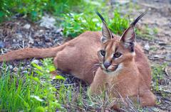 South Africa, Limpopo, Mopani District Municipality, Caracal Wild Cat Stock Photos