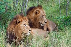 South Africa, Limpopo, Mopani District Municipality, Two lions lying in grass Stock Photos