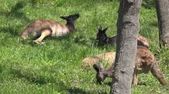 Gray Kangaroo Several Resting Stock Footage