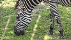 Zebra Adult Lone Feeding Grazing Grass Stock Footage