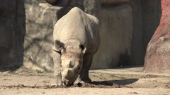 White Rhinoceros Adult Lone Walking Stock Footage