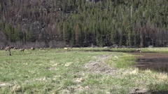 Elk Cow Adult Herd Spring Pond Meadow - stock footage