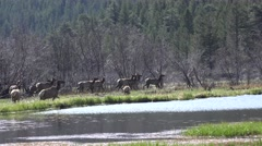 Elk Herd Alarmed Spring Stock Footage