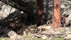 Elk Bull Adult Resting Spring Shade Stock Footage