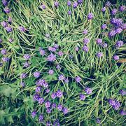 Voghera, Pavia, Lombardia, Italy Purple Flowers In A Green Windy Field Stock Photos