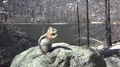 Golden-mantled Ground Squirrel Adult Lone Feeding Spring Rock Lake - stock footage