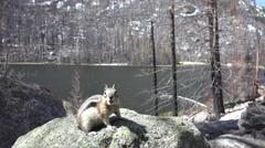 Golden-mantled Ground Squirrel Adult Lone Standing Spring Reaching - stock footage