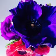 Close-up of purple anemone Stock Photos