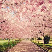 Denmark, Copenhagen, View of blossom cherry trees - stock photo