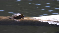 Painted Turtle Adult Lone Resting Spring Log Stock Footage