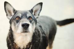 Italia, Piedmont, Tortona, Portrait of dog glancing up - stock photo