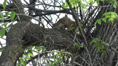 Red Squirrel Adult Young Family Spring Stock Footage