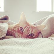 Lazy cat in bed Stock Photos