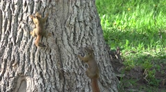 Red Squirrel Female Adult Young Family Spring Carrying Stock Footage