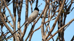 Swallon bird perched in a tree. Brazilian Biome. Tachornis squamata Stock Footage