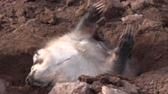 Badger Adult Lone Stretching Spring Rolling Dirt Belly Claws Stock Footage