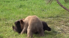 Black Bear Cub Pair Playing Spring Brown Black Color Phase - stock footage