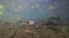Freshwater Fish Lamanai School Dry Underwater Stock Footage