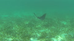 Eagle Ray Adult Lone Swimming Underwater Stock Footage