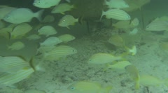 Saltwater Fish Ambergris Caye Many Underwater - stock footage