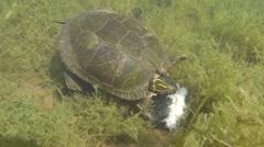 Painted Turtle Adult Lone Feeding Spring Carrion Pond Lake Floor Underwater Stock Footage