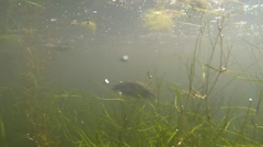 Painted Turtle Adult Swimming Spring Pond Surfacing Underwater Stock Footage
