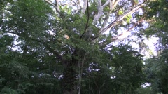 Trees & Shrubs Lamanai Dry Tropics Canopy Branches Jungle Stock Footage