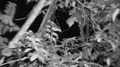 Kinkajou Lone Dry Night Nocturnal Spotlight Stock Footage
