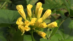 Forbs Lamanai Flower Dry Yellow Jungle Tropics Rainforest Stock Footage