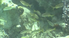 Stock Video Footage of Saltwater Fish Ambergris Caye School Dry Underwater