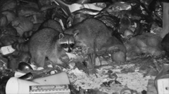 Raccoon Adult Several Feeding Dry Night Garbage Human Food Waste Trash Infrared - stock footage