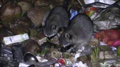 Raccoon Foraging Dry Night Scavenging Dump Garbage Trash Pile Spotlight - stock footage
