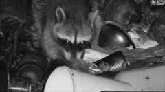 Raccoon Feeding Dry Night Garbage Waste Trash Infrared Stock Footage