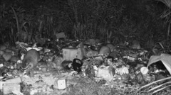 Raccoon Adult Many Foraging Dry Night Garbage Dump Waste Trash Pile Jungle Stock Footage