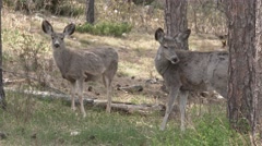 Mule Deer Doe Adult Young Several Grooming Summer Pine Forest Stock Footage