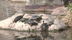 Painted Turtle Adult Several Resting Summer Pond Basking Rock Diving Water Stock Footage