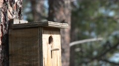 House Wren Adult Lone Nesting Summer Birdhouse Hole Building Stick Stock Footage