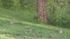 Cottontail Rabbit Several Feeding Summer Lawn Grass Stock Footage