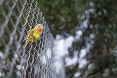 Spain, Malaga, Agaporni bird resting on metal fence - stock photo