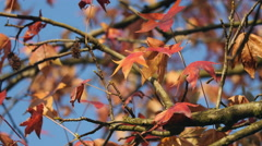 Colorful foliage against perfectly blue sky Stock Footage