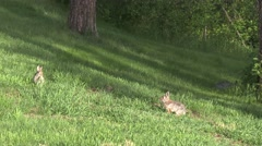 Cottontail Rabbit Adult Several Breeding Summer Lawn Green Grass Stock Footage
