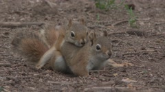 Red Squirrel Male Female Adult Pair Mating Summer Dusk Sex Bond Copulation Stock Footage