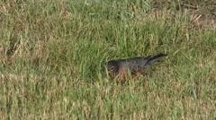 Robin Adult Lone Feeding Summer Predation Stock Footage