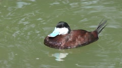 Ruddy Duck Drake Adult Lone Summer Stock Footage