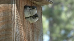 Violet-green Swallow Adult Chicks Family Feeding Summer Birdhouse - stock footage