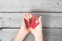 two hand of a young asian boy holding carefully a red maple leaf against a wo - stock photo