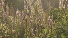 Vervain Many Flower Summer Sunset Backlight Stock Footage