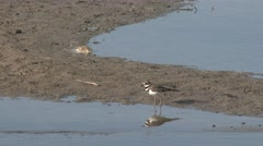 Killdeer Lone Walking Summer Sandbar Mudflat Stock Footage