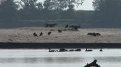 Turkey Vulture Flock Resting Summer Dawn Sandbar Stock Footage
