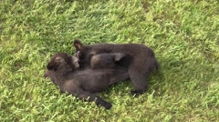 Black Bear Young Pair Playing Summer Wrestling Rolling Exercise Stock Footage